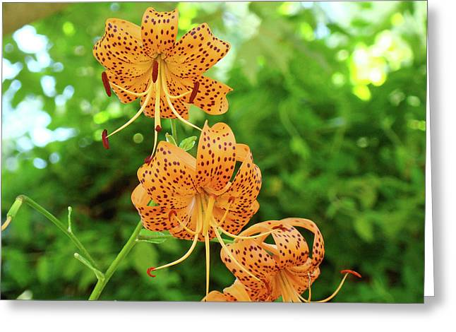 Office Art Prints Tiger Lilies Flowers Nature Giclee Prints Baslee Troutman Greeting Card by Baslee Troutman