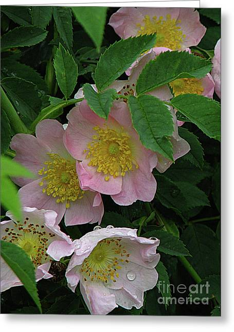 Greeting Card featuring the photograph Oh The Wild Rose Bush by Deborah Johnson