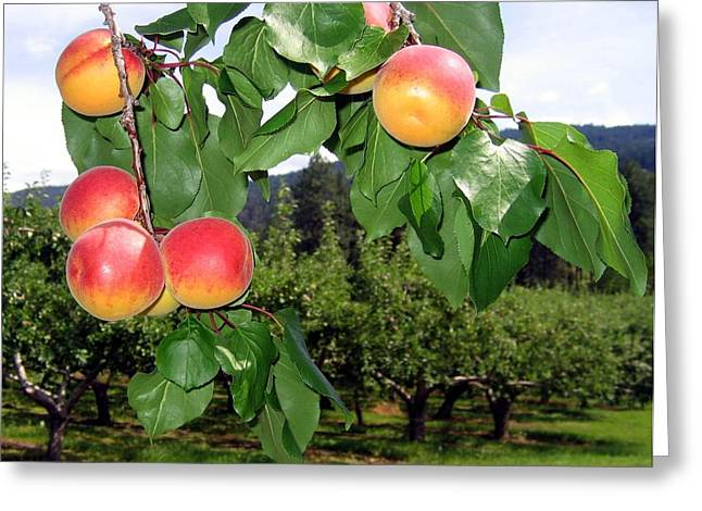 Okanagan Apricots Greeting Card by Will Borden