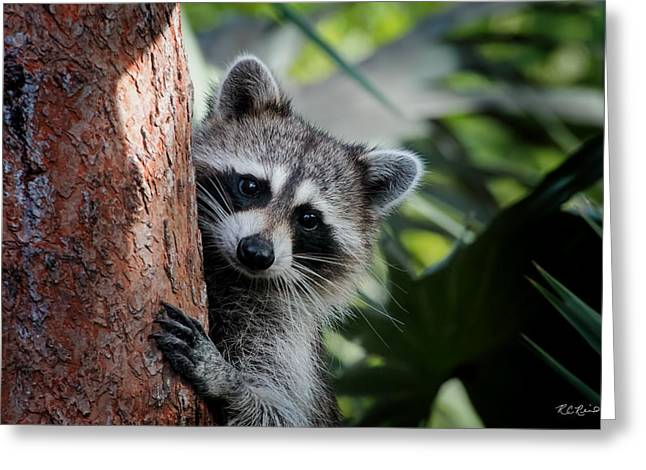 Okeeheelee Nature Center - Bandit The Raccoon - Getting A Better View Greeting Card by Ronald Reid