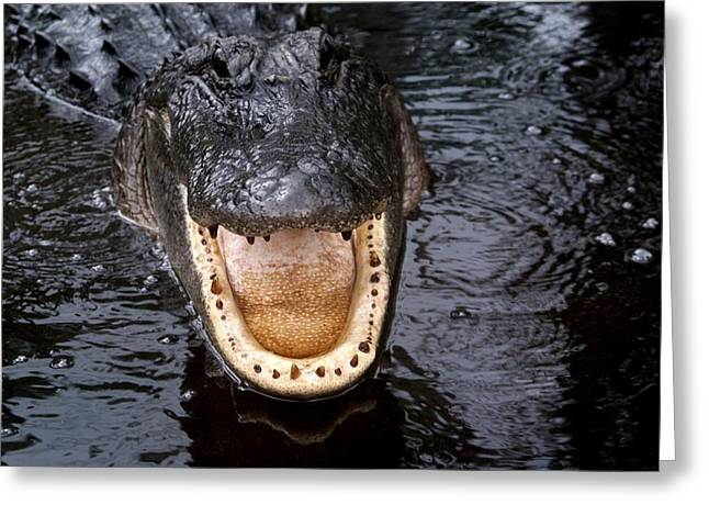 Okefenokee Alligator 1 Greeting Card