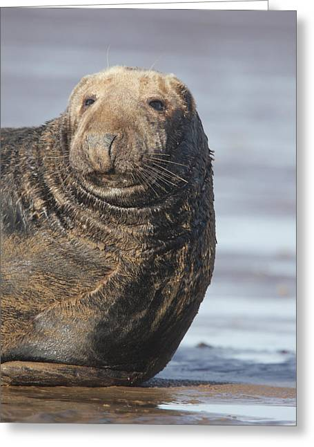 Old Atlantic Grey Seal On The Beach Greeting Card