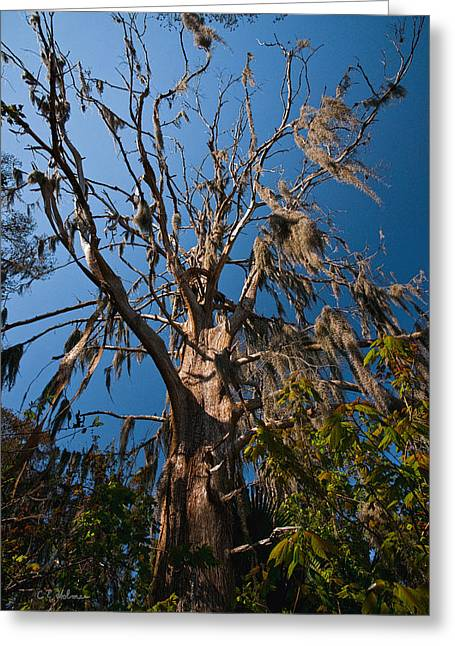 Old Cypress Greeting Card by Christopher Holmes