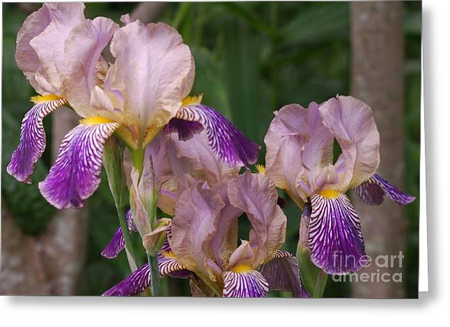 Old-fashioned Iris Greeting Card