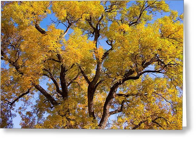 Old Giant  Autumn Cottonwood Greeting Card by James BO  Insogna
