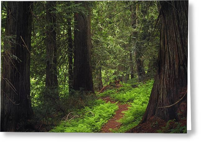 Old Growth Cedars Greeting Card by Leland D Howard