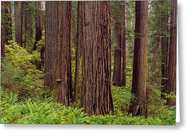 Old-growth Redwoods At Jedediah Smith Greeting Card