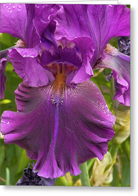 Old Lady Iris Greeting Card