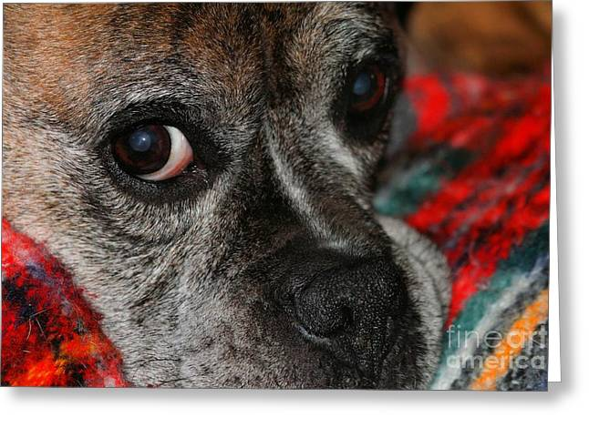 Greeting Card featuring the photograph Old Man Boxer by Debbie Stahre
