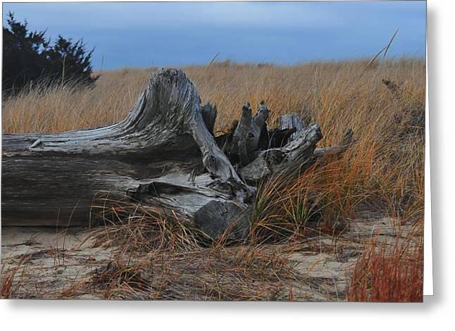Old Tree On Scusset Beach Greeting Card by Bill Driscoll