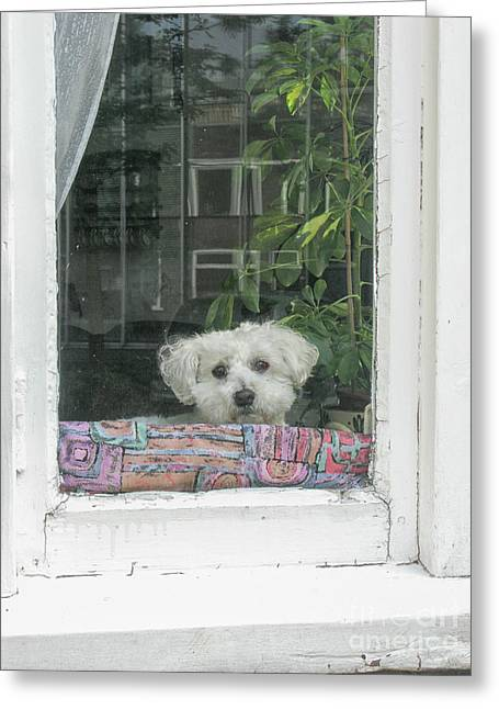 Old White Poodle Alone At Home Greeting Card by Patricia Hofmeester