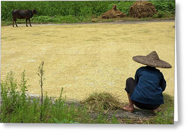 Old Woman Checking Harvested Rice Drying Greeting Card by Sami Sarkis