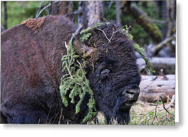 Old Yellowstone Bison Covered In Pine Greeting Card