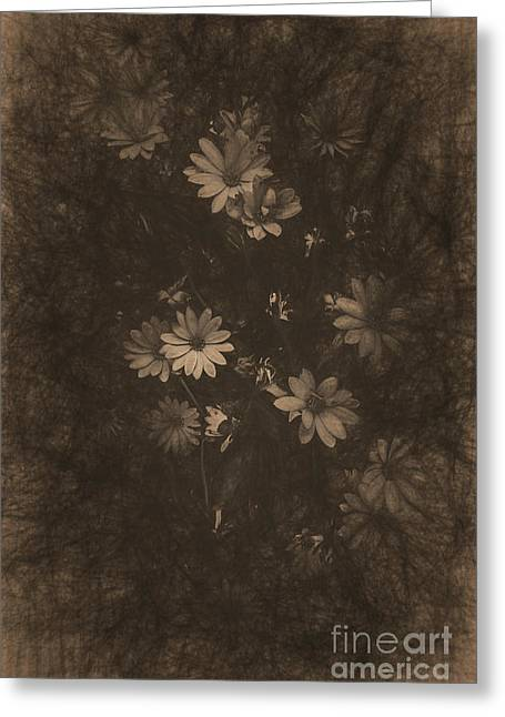 Olden Day Daisies  Greeting Card by Jorgo Photography - Wall Art Gallery
