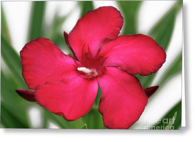 Oleander Blood-red Velvet 1 Greeting Card