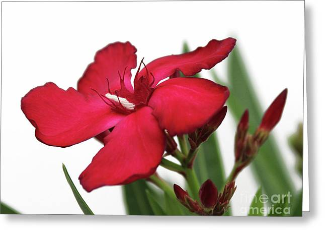 Greeting Card featuring the photograph Oleander Blood-red Velvet 2 by Wilhelm Hufnagl
