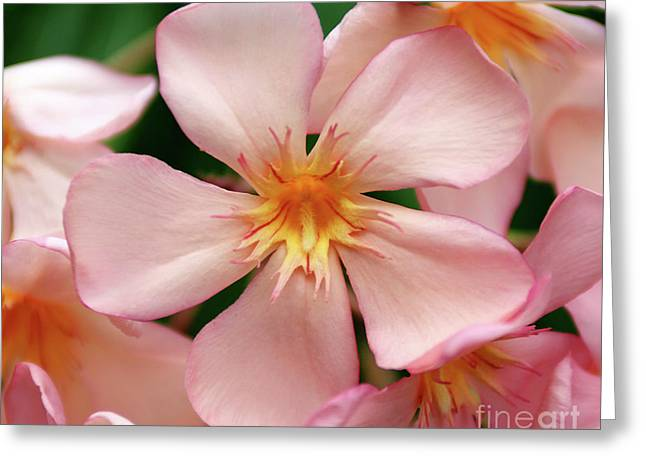 Greeting Card featuring the photograph Oleander Dr. Ragioneri 1 by Wilhelm Hufnagl