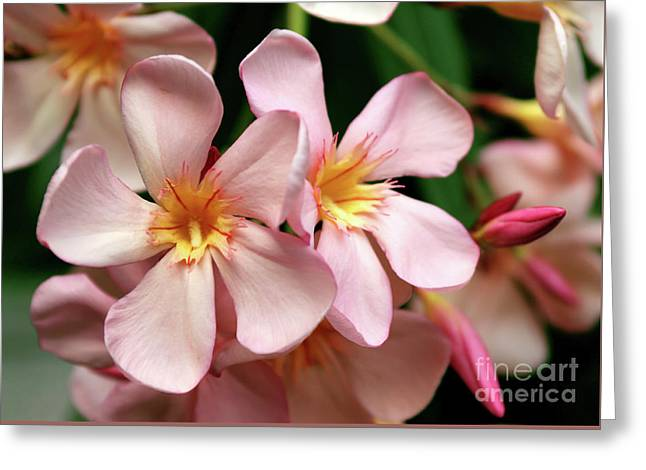 Greeting Card featuring the photograph Oleander Dr. Ragioneri 2 by Wilhelm Hufnagl