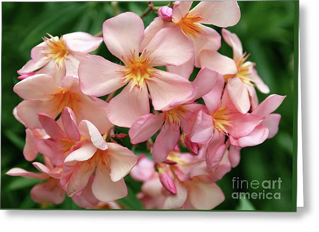 Greeting Card featuring the photograph Oleander Dr. Ragioneri 3 by Wilhelm Hufnagl