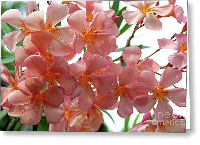 Greeting Card featuring the photograph Oleander Dr. Ragioneri 4 by Wilhelm Hufnagl