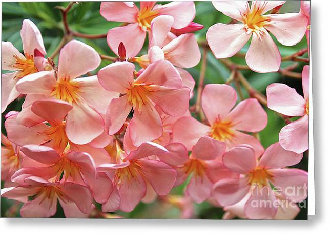 Greeting Card featuring the photograph Oleander Dr. Ragioneri 5 by Wilhelm Hufnagl