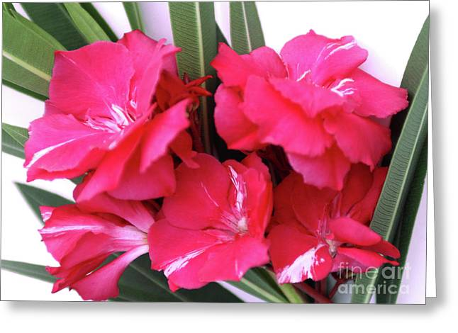 Greeting Card featuring the photograph Oleander Geant Des Batailles 1 by Wilhelm Hufnagl