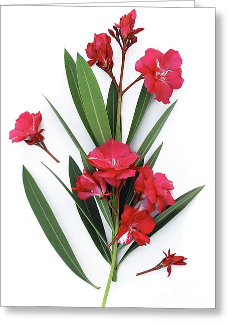 Greeting Card featuring the photograph Oleander Geant Des Batailles 2 by Wilhelm Hufnagl