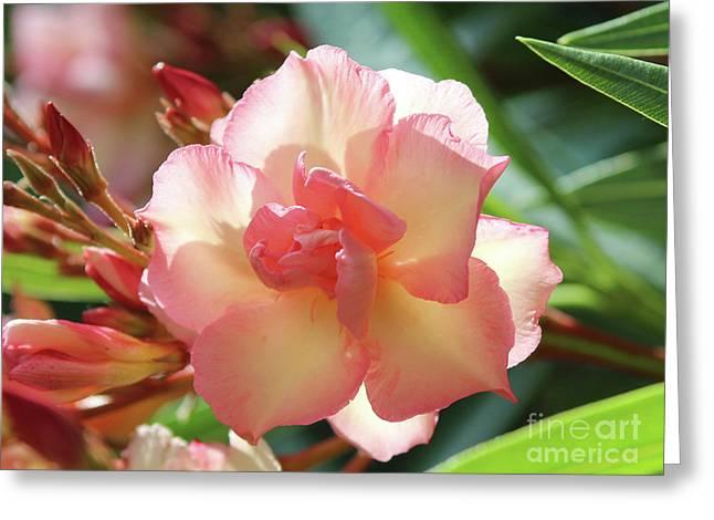 Oleander Mrs. Roeding 1 Greeting Card