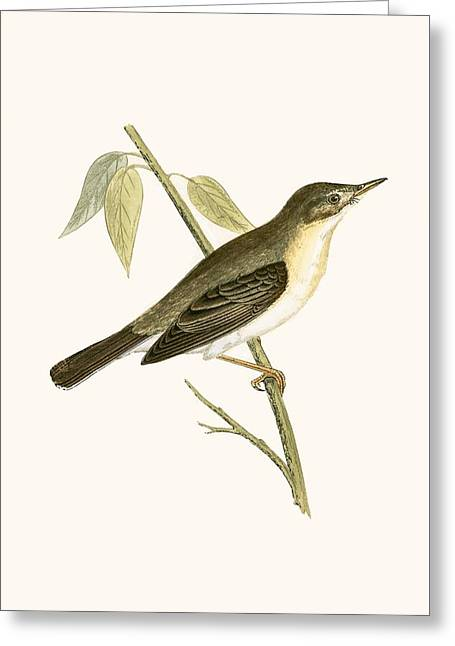 Olivaceous Warbler Greeting Card by English School