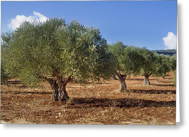 Olive Grove In Galille Greeting Card by Noam Armonn