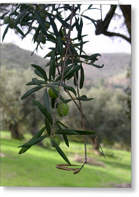 Olive Grove Sicily Greeting Card