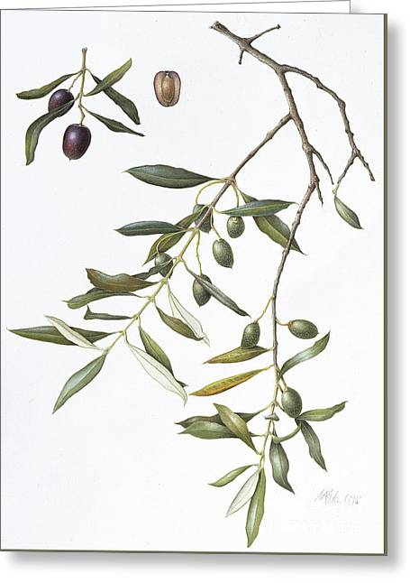Olive Greeting Card by Margaret Ann Eden
