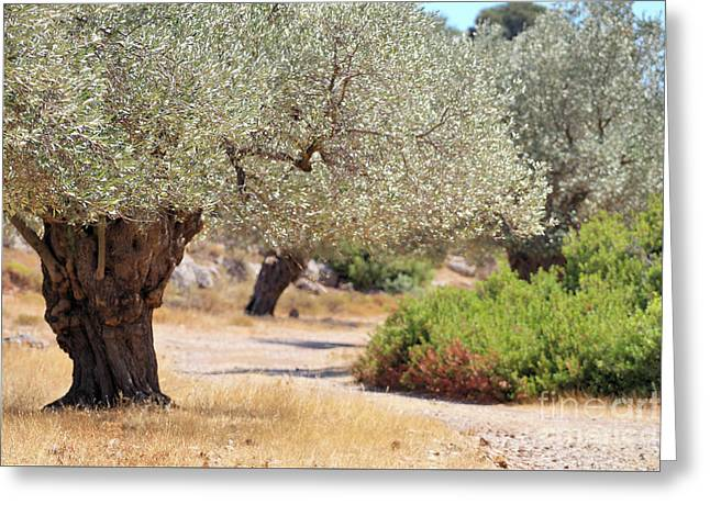 Olive Trees Greeting Card by Jana Behr