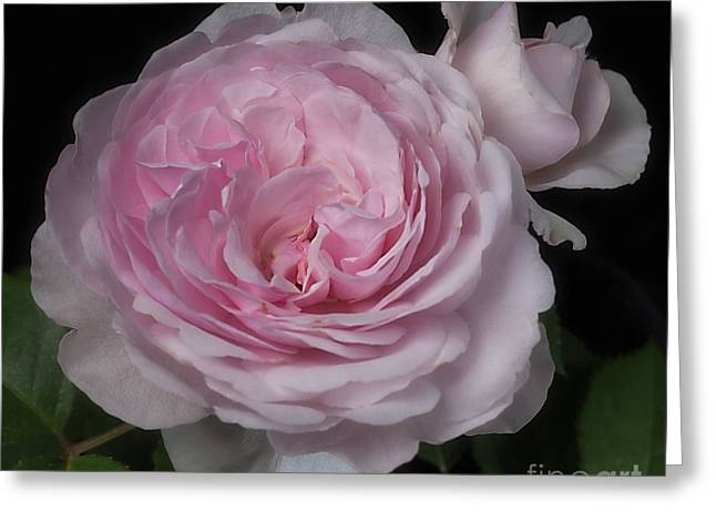 Olivia Austin Rose Greeting Card
