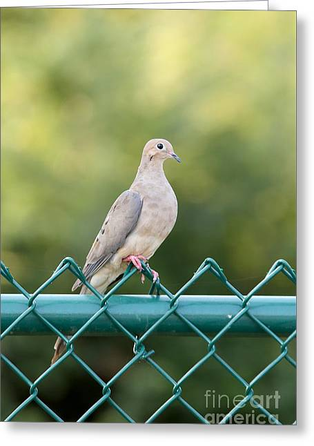 On The Fence Greeting Card by Rick Kuperberg Sr