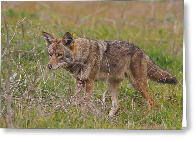 On The Prowl Greeting Card by Carl Jackson