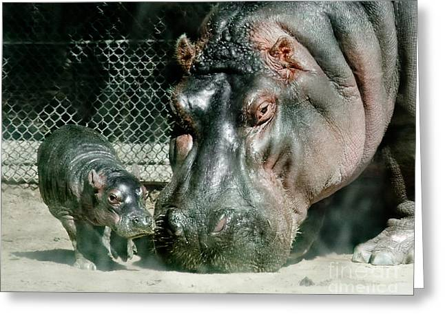 One Day Old Baby Hippo And Mom Greeting Card