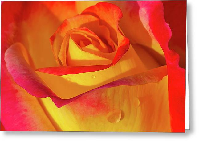 Greeting Card featuring the photograph One Macro Rose by Julie Palencia