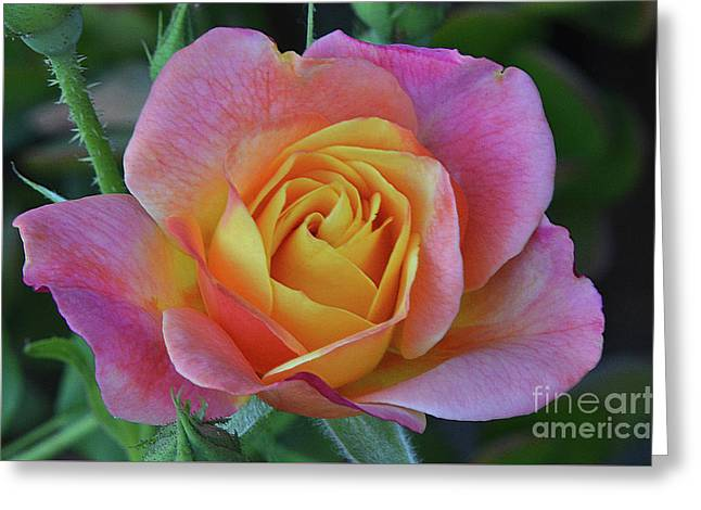 One Of Several Roses Greeting Card by Debby Pueschel