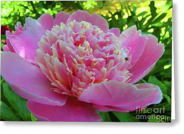 One Of The Peony Sisters Of Nebraska City  Greeting Card by Christine Belt