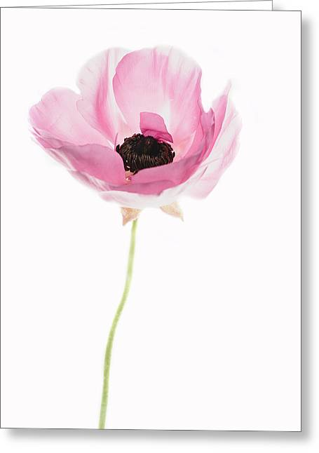 One Pink Beauty Greeting Card by Rebecca Cozart