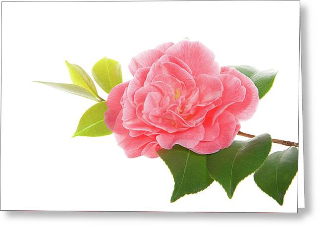 One Pink Camellia Greeting Card