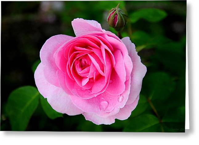 One Pink Rose And One Bud Greeting Card