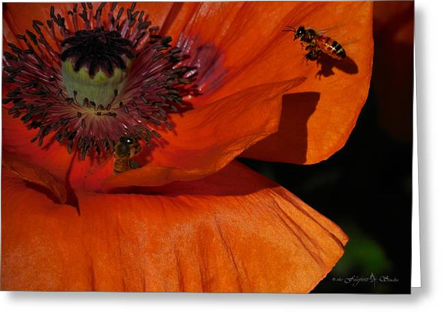 One Poppy And A  Bee Greeting Card