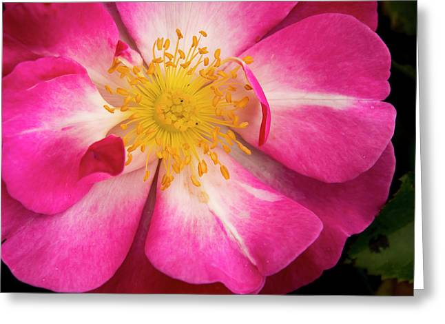 Open Pink Rose Greeting Card