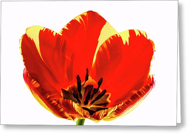 Open Tulip Greeting Card by Jean Noren