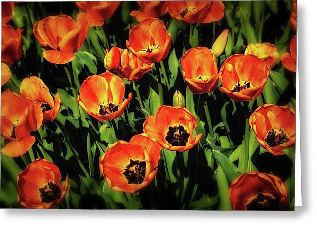 Open Wide - Tulips On Display Greeting Card by Tom Mc Nemar