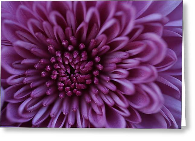 Greeting Card featuring the photograph Purple Mum by Glenn Gordon