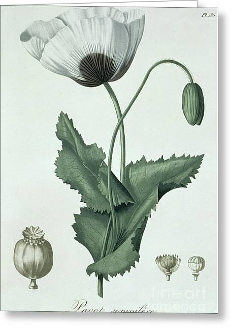 Opium Poppy Papaver Somniferum Greeting Card