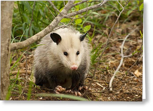 Opossum Stare Down Greeting Card by Kathy Clark